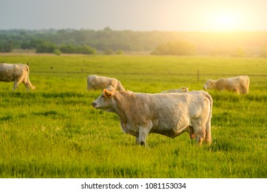 Cows on the pasture sunset lights