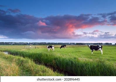 cows on pasture at sunset in summer
