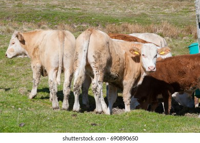 Cows on pasture in Sweden