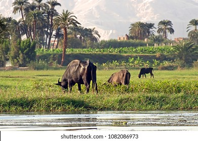Cows on river bank Nile in Egypt. Life on the River Nile
