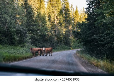 Cows on Road to Hungry Horse Reservoir in Flathead National Forest in Montana