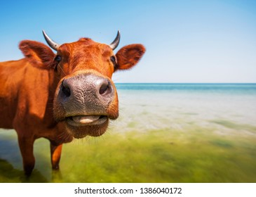 Cows on the sea. Cows on the beach at the seaside.