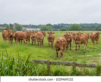 Cows on Sudbury Water Meadows