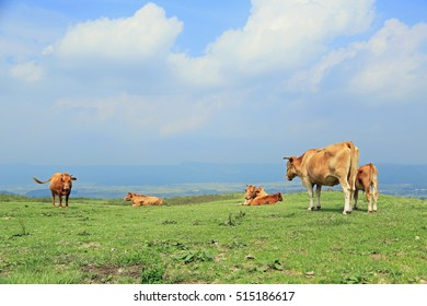 Cows on the summer field.