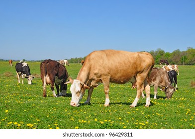 Cows on a summer pasture
