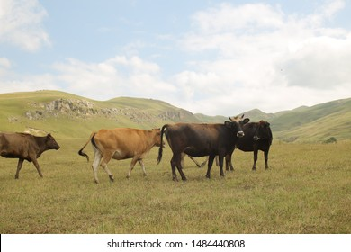 Cows on a summer pasture. Cows in a grassy field on a bright and sunny day