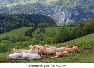 Cows on The Vercors Plateau