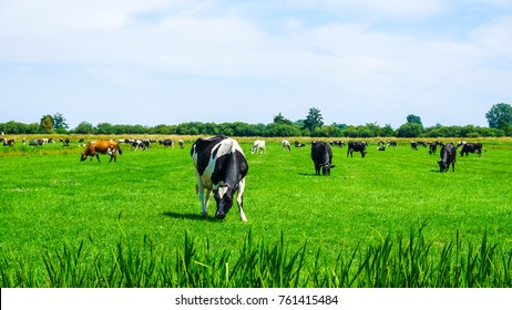 Cows on vibrant green grass in Holland