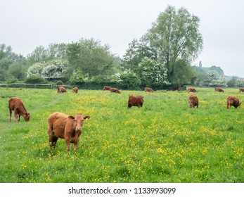 Cows on the water meadows