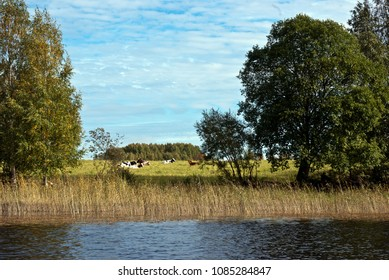 Cows on waterfront pasture