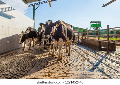 Cows on the way