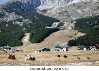 cows onthe field near the moutnains in summer in Montenegro, Zhablyak