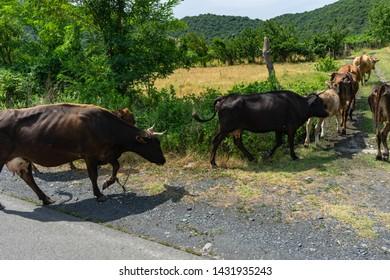 Cows outdoor walking to the meadow in Kakheti, Georgia