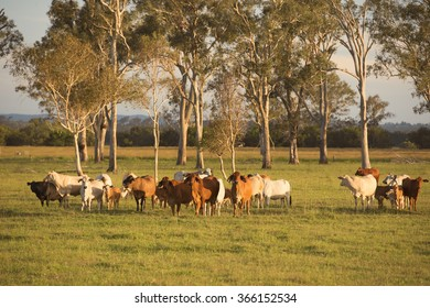 Cows in the paddock during the day in Queensland