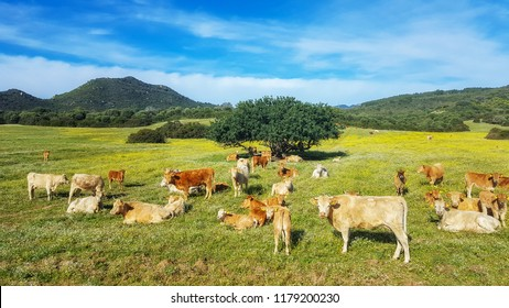 Cows in paradise, agriculture in Sardinia