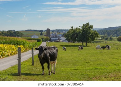 Cows in the pasture at Amish farm in Lancaster County