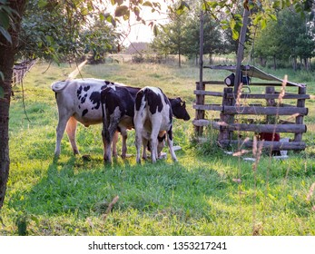 cows in the pasture, eat grass