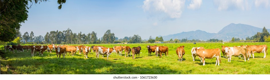 cows in pasture grazing