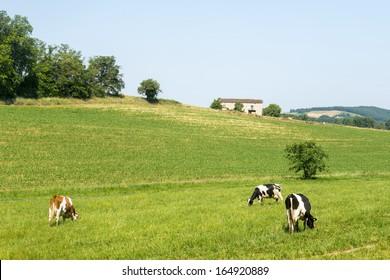 Cows at pasture near Albi (Tarn, Midi-Pyrenees, France), at summer