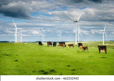 Cows in a Pasture with a Wind Farm in Background on a Cloudy Day