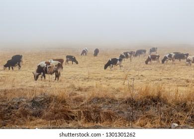 Cows in a pasture in winter, Magadan