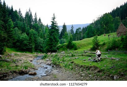 Cows pasturing near the stream in grassy meadow, Carpathian mountains in summer