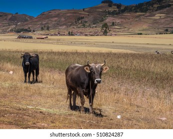 Cows in the peruvian Andes.
