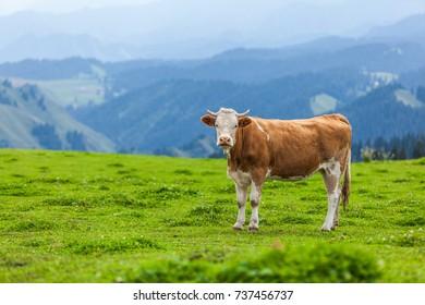 The cow's portrait