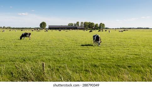 Kühe genießen leise das frische Frühlingsgras der Wiese. Im Hintergrund ist ihr moderner holländischer Kuchen.