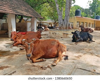 Cows in the Ramana Maharshi ashram in Tiruvanamalai India