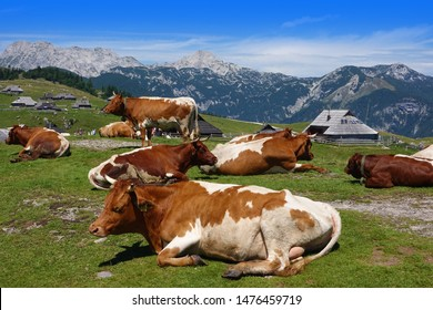 Cows resting in beautiful mountain village in Alps,    Velika Planina, Slovenia, Europe
