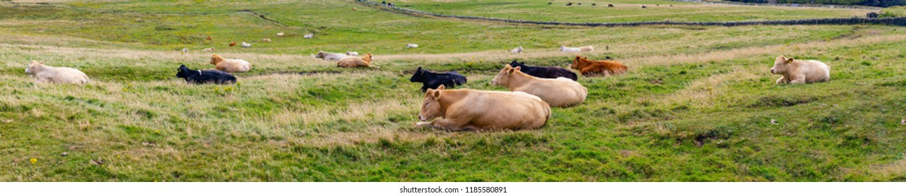 Cows resting in a farm in Cliffs of Moher, Liscannor, Clare, Ireland