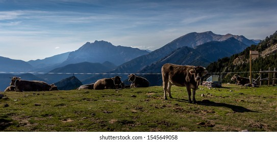 Cows resting in a meadow in Cadí-Moixeró national Park. Pedraforca at the back.