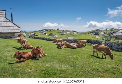 Cows resting near cottage on Velika planina (Big Pasture Plateau), Kamnik, Slovenia