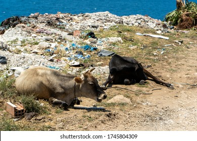 Cows resting near a pile of trash