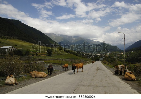 Cows resting on the road in the village of Mestia, Georgia
