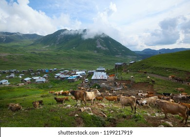cows are returning home. savsat/artvin/turkey