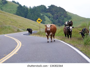 Cows in the road on a rainy day with a warning sign about cows in the road