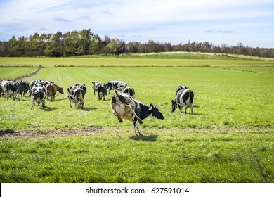Cows run out on a green meadow in the spring and enjoy their first season on green grass