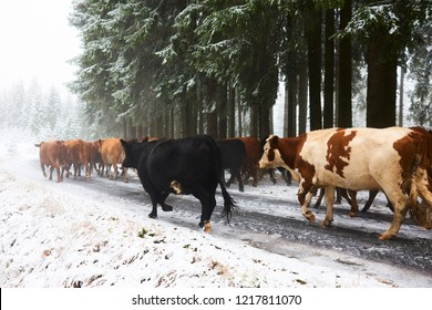 Cows running along a forest path in a winter forest