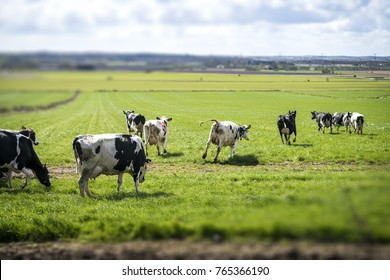 Cows running out on a rural field for the first time of the year in the spring