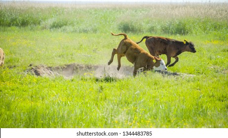 Cows runnning and jumping in the grassfield on a fine sunny weather