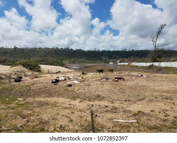 cows in a sandy field on a beach in Isabela, Puerto Rico
