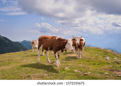 Cows in Seiser Alm, the largest high altitude Alpine meadow in Europe, stunning rocky mountains on the background.