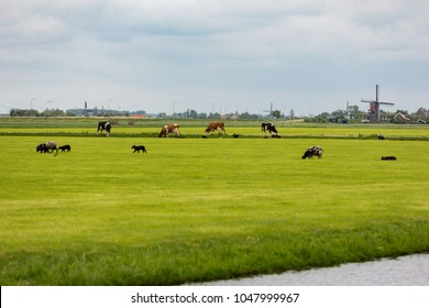 Cows and sheep on a Dutch grassland with windmills.