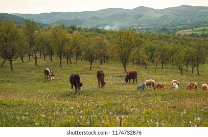 Cows, sheeps and goats grazing