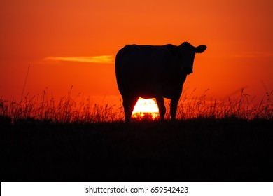 Cow's silhouette at sunset in a meadow with the sun glowing