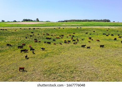 Cows silhouettes  grazing, La Pampa, Patagonia, Argentina.