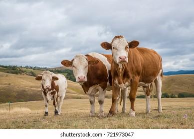 Cows simental race, on the meadow