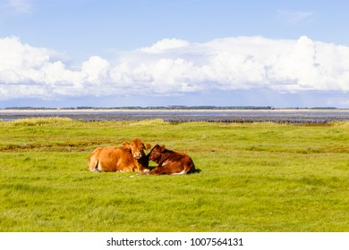 Cows sitting on a meadow near the Wadden Sea on Amrum, Germany